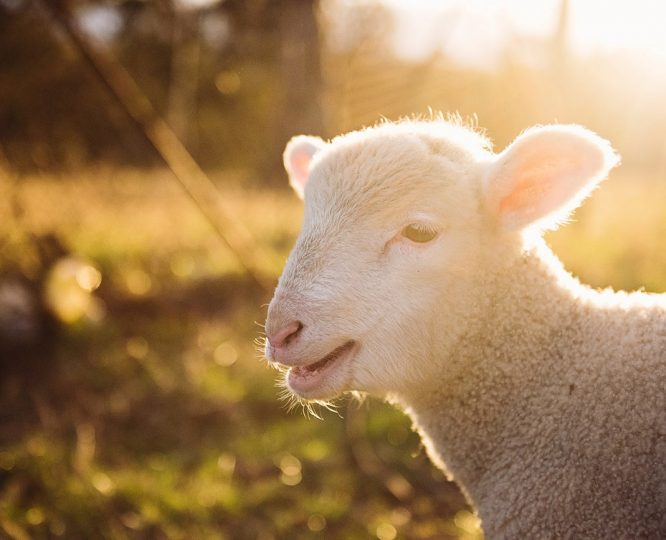 Busted-Five-Myths-about-Wool-baby-lamb